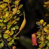 SAJ1239 Rhododendron nummatum