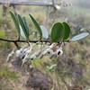 SAJ0631 Dimorphanthera amplifolia