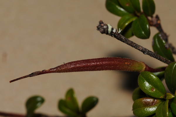 SAJ1285 Rhododendron cf. oreites