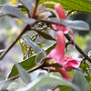 Conn5505 Rhododendron