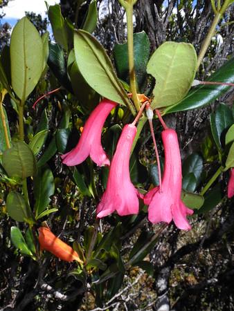 SAJ1221 Rhododendron n.sp.