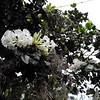 SAJ0607 Rhododendron blackii