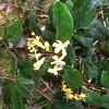 Conn5384 Rhododendron macgregoriae