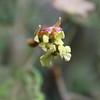 Conn5455 Macaranga strigosa