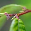 Conn5378 Glochidion macrocarpum subsp. orientale