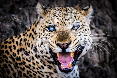 One eyed leopard