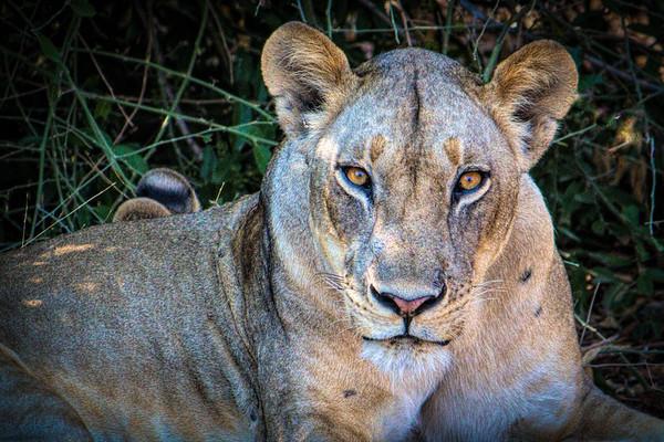 Golden eyed lioness
