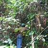 SAJ0024 Mucuna pruriens var. novo-guineensis