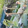 SAJ0755 Lithocarpus vinkii