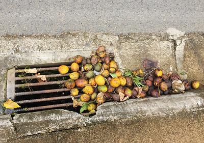 windfall mangos