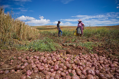 Potato harvest among fields of wheat and quinoa in the highlands above Cusco, Peru above 12,000 feet.