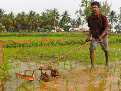 Nagaraj tills out the weeds between the rice rows at the Annadana Farm outside Bangalore, India.