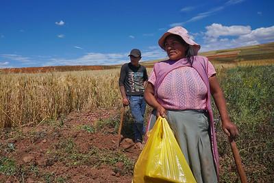 Harvesting potatoes in the highlands above Cusco, Peru above 12,000 feet.
