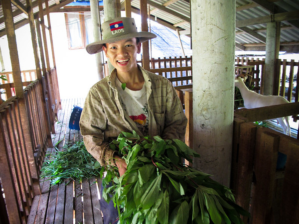 One of the young workers at the Organic Farm outside Vang Vieng, Laos gives foraged leaves to the goats.  He also attended English classes at a nearby school started by the farm. The Organic Farm solicits international volunteers to help teach English and to help with goat chores.