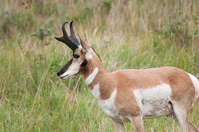 Custer State Park - pronghorn