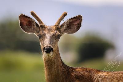 San Luis Valley - mule deer