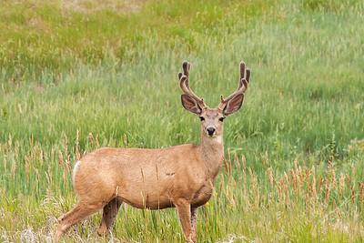 Gillette - Mule deer