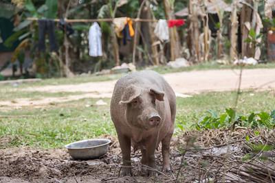 Village - pig