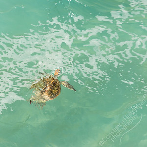 North Stradbroke Island - sea turtle