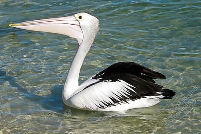 Tin Can Bay - Australian pelican