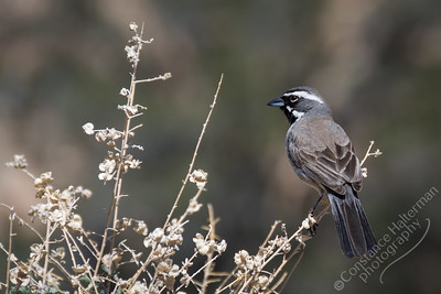 Joshua Tree National Park - black-throated sparrow