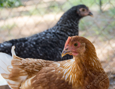 High desert - Speckles and Lacey the chickens
