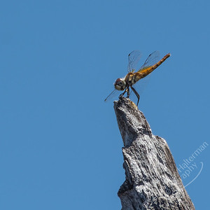 Litchfield National Park, Tolmer Falls walk - dragonfly
