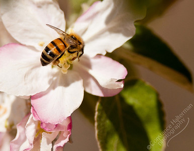 High Desert - bee in apple blossom