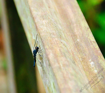 MacRitchie Reservoir - blue dragonfly