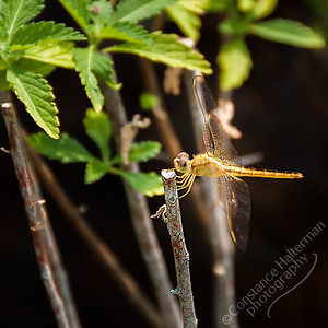 Chinese Japanese Gardens - dragonfly