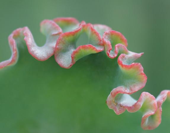 Red Glow Echeveria