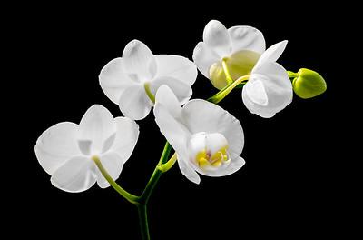 Orchid Phalaenopsis Hybrid- back