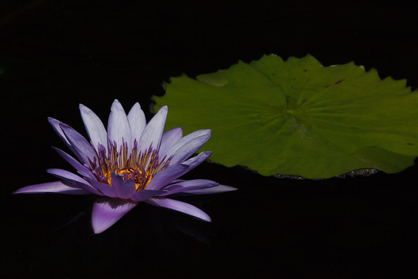 Tropical Waterlily