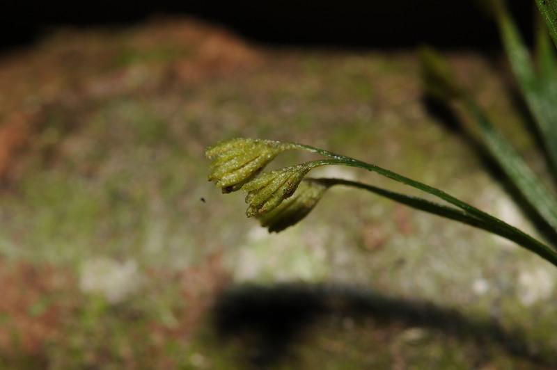 SAJ1380 Schizaea dichotoma