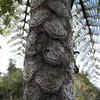 SAJ1260 Cyathea aeneifolia