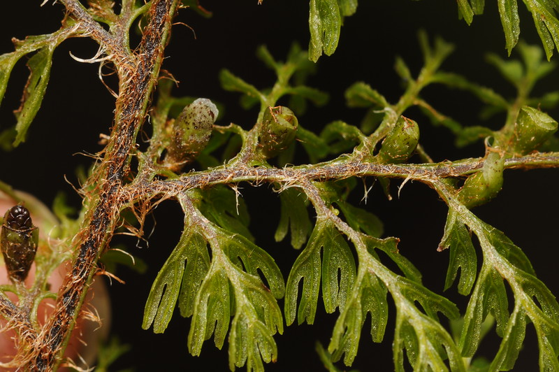SAJ1244 Hymenophyllum cf. rubellum
