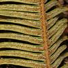 SAJ1243 Sticherus cf. venosus