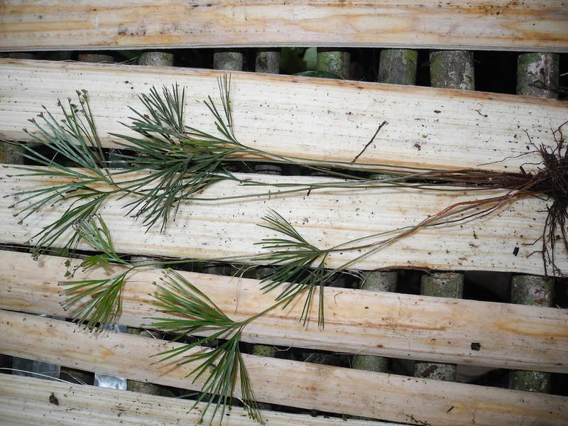 SAJ1449 Schizaea dichotoma