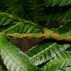 SAJ1344 Selaginella velutina