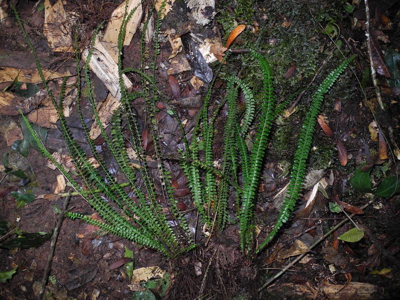SAJ1322 Lindsaea lucida