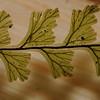 SAJ1434 Hymenophyllum cf. archboldii
