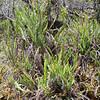 SAJ1223 Plagiogyria egenolfioides var. decrescens