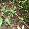 SAJ1321 Diplazium cordifolium
