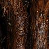 SAJ0172 Alsophila brackenridgei