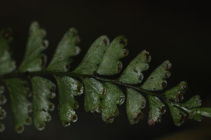 SAJ0191 Lindsaea repens cf. var. denticulata