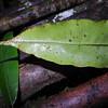 SAJ0202 Oleandra werneri