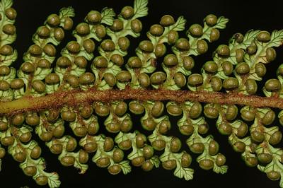 Ferns and fern allies