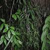 2010-013 Equisetum ramosissimum subsp. debile