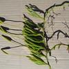 SAJ1307 Lycopodium clavatum