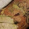SAJ0833 Actinostachys